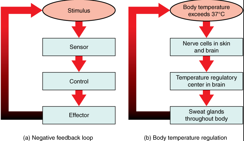 Ap biology feedback loops and regulation ccuart Choice Image