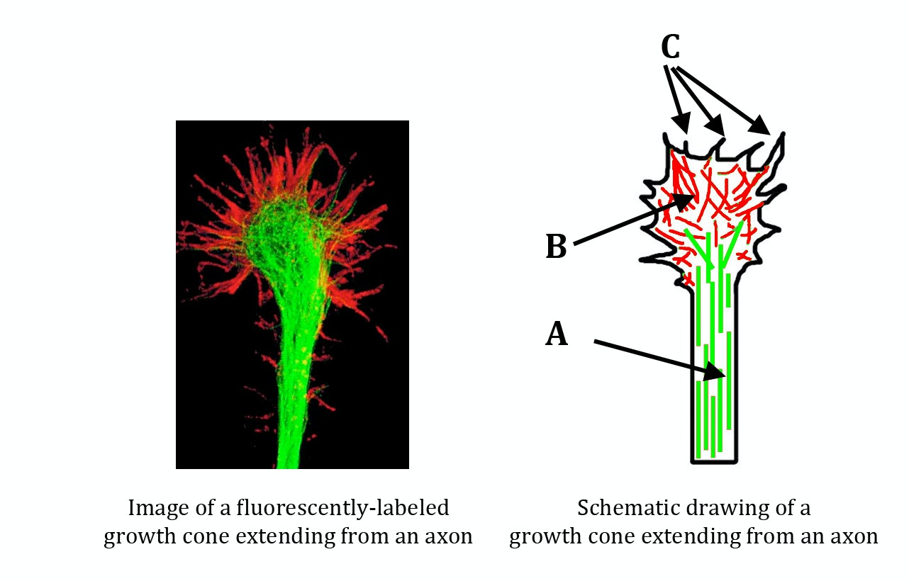 Neuroscience Wiring The Brain Growth Cone Structure Of