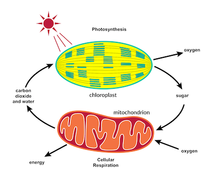 the carbon cycle: photosynthesis and cellular respiration